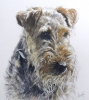 A PENSIVE WELSH TERRIER! (sa), Price: £350.00, Medium: Charcoal and watercolour, Size: 11x10.5 ins